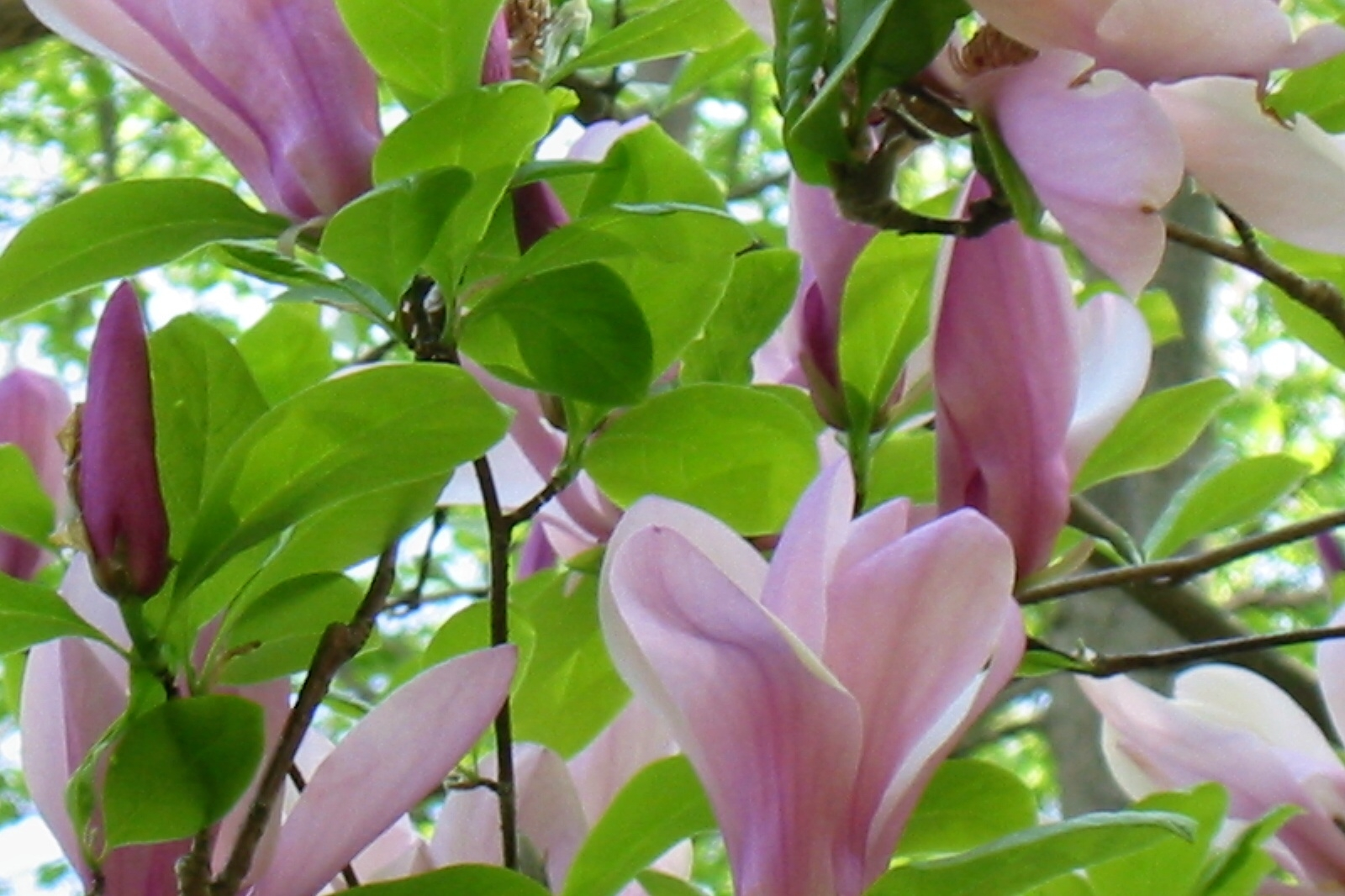 Magnolia Blossoms - Working At Home